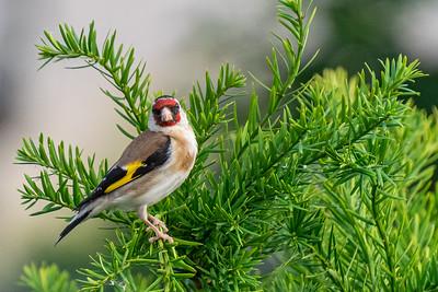 Goldfinch / Lišček