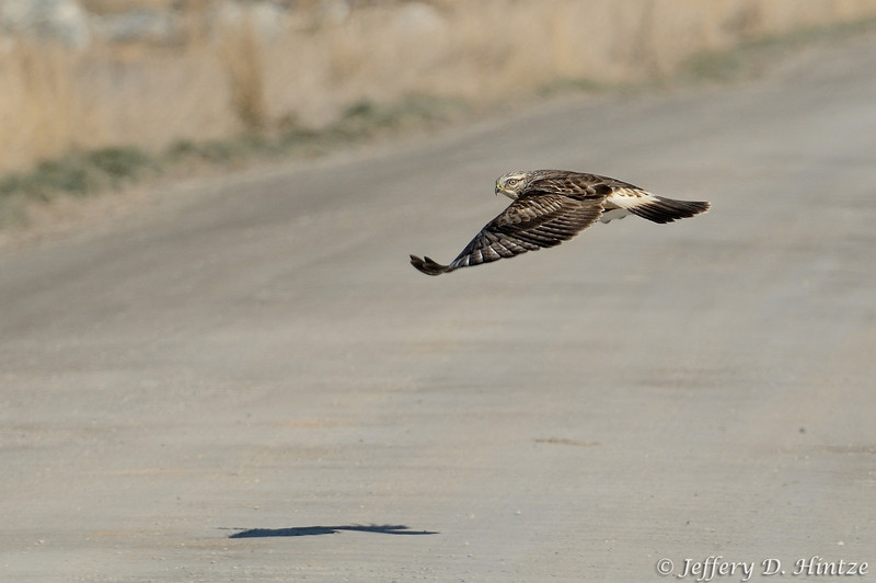 On our way back out of Farmington Bay, we saw this rough-legged hawk, sitting on a sign, we stopped to try and shoot him but he flew off, so I caught him in flight crossing the road instead.