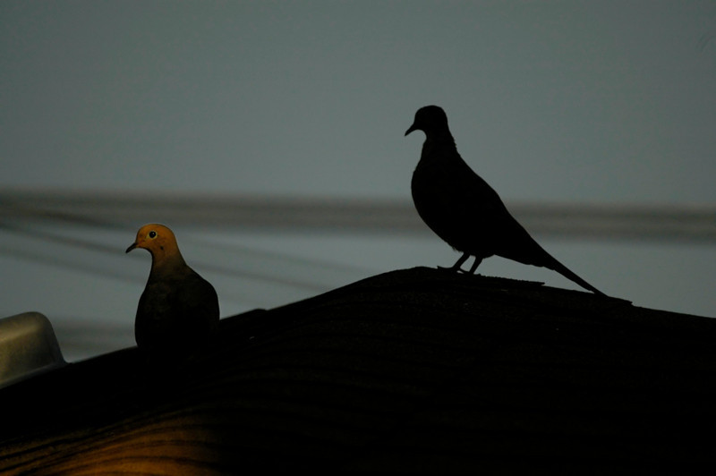 Mourning doves at sunset