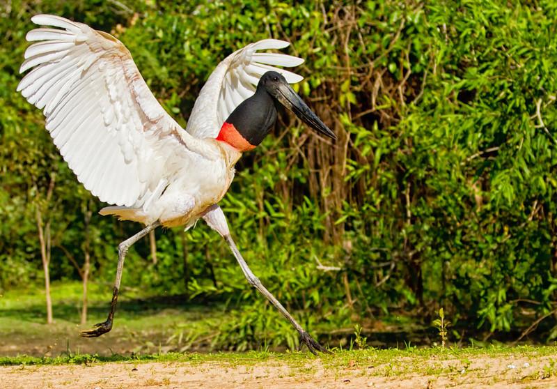 Big Bird's dance
