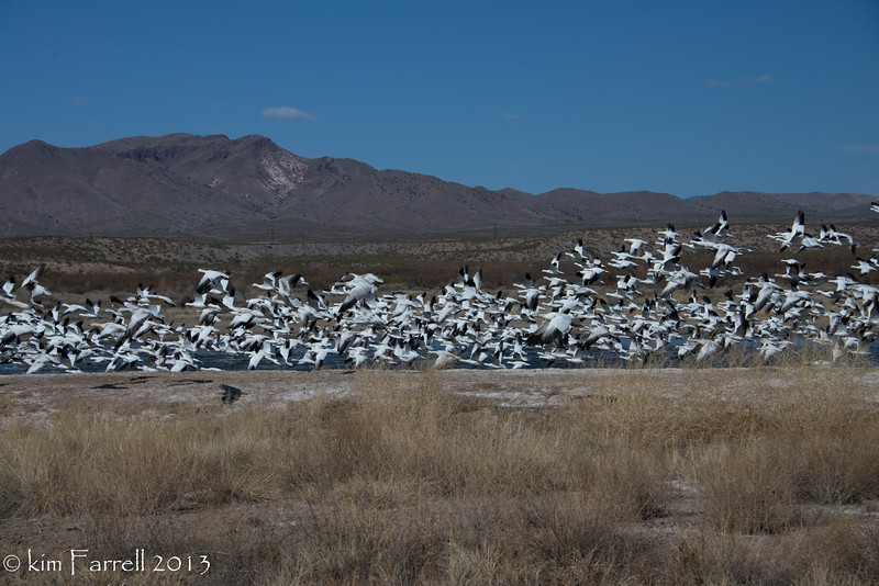 Snow geese fly out, Bosque del Apache.