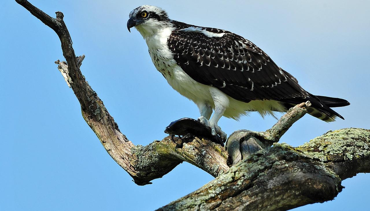 Osprey, Timberline gated community, WV - USA