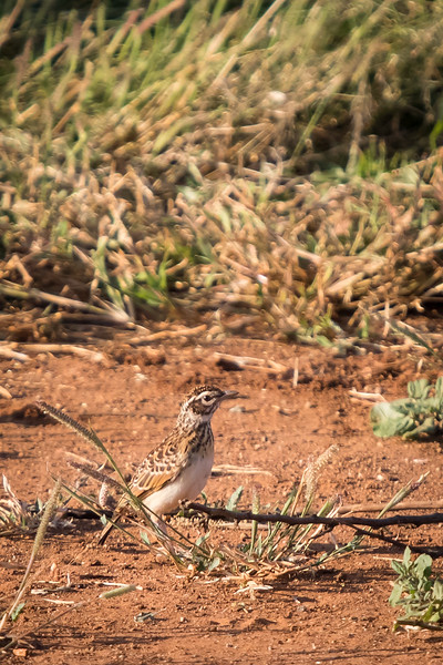 African Pipit, Pilanesberg, South Africa, March 2017