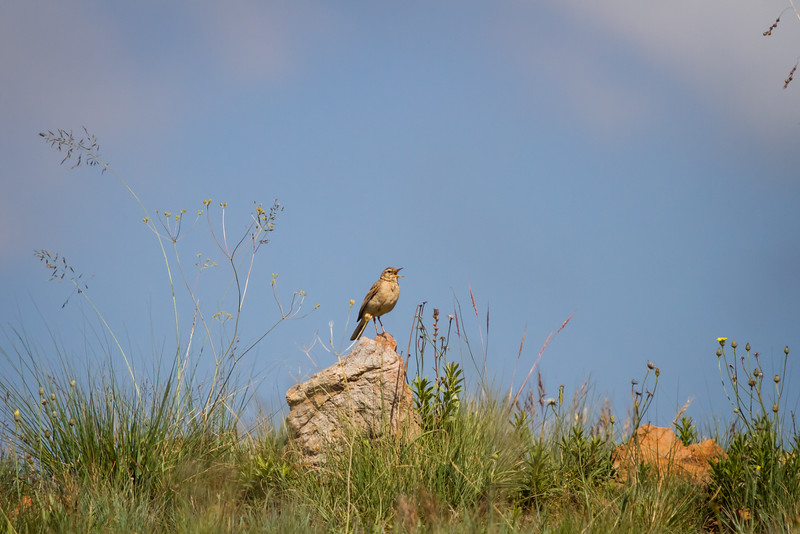 African Pipit, Dullstroom, South Africa, December 2015