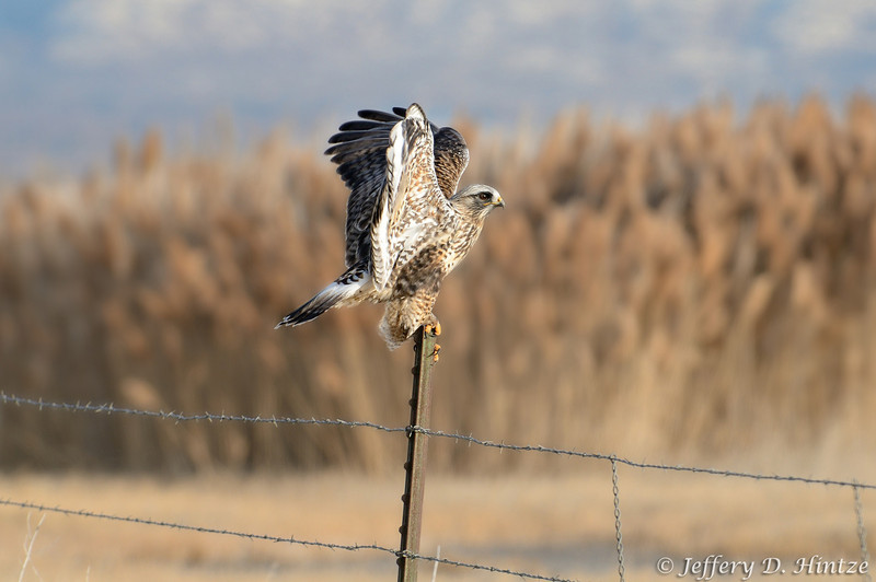 My dad had suggested we check out Harold S. Crane waterfowl management area while we were out shooting, so after leaving Farmington Bay we decided to stop by on our way to Willard Bay. We didn't see much on our way in, but on our way back out, this hawk kept flying from one fence post to another, right along the road, so we were able to get quite a few decent shots of him. This was one of my personal favorites.