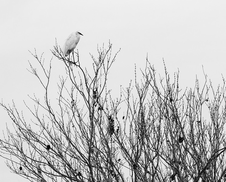 Great Egret on Tree