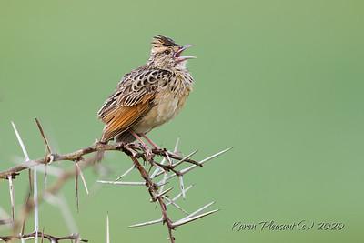 Short tailed lark
