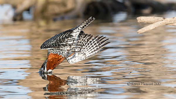 Giant kingfisher mid-dive!