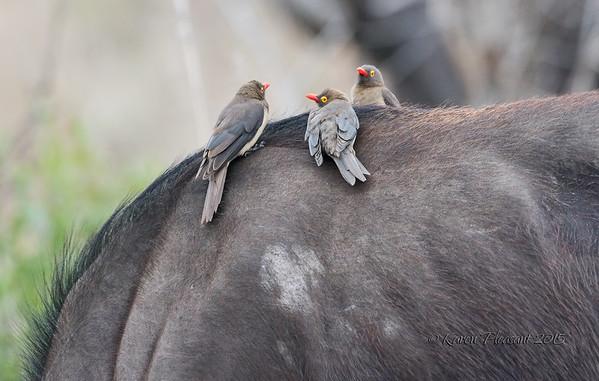 Ox pecker on Cape buffalo