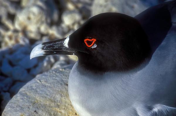 Swallowtailed Gull