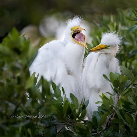 Egret chicks