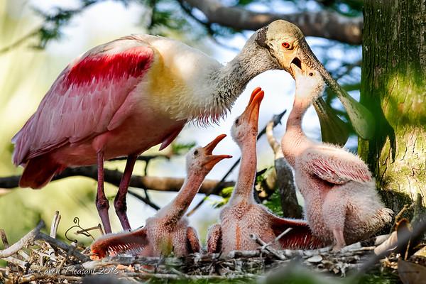 Spoonbill feeding chicks