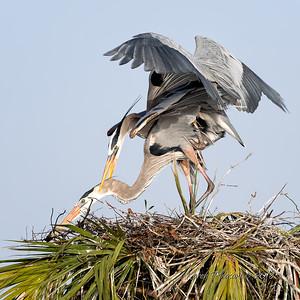 5  Heron's mating