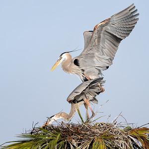 6  Heron's mating