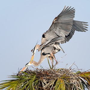 4  Heron's mating