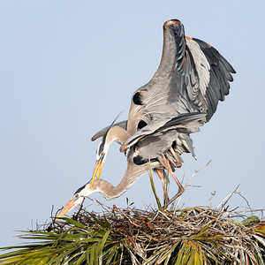 3  Heron's mating