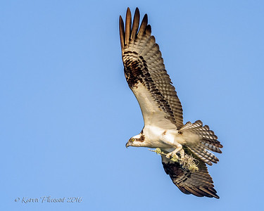 Osprey with small nesting material