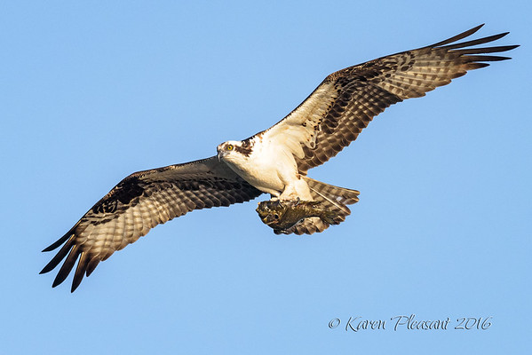 Osprey and catch