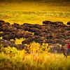 Bison-Roundup-Pano-RedshirtCowboy