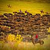 Bison-Roundup-TwoHerdMerge