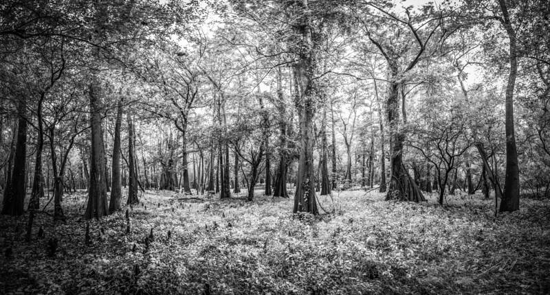 Cypress Trees_Cat Island_Louisiana_photo by Gabe DeWitt_November 05, 2014-50-3
