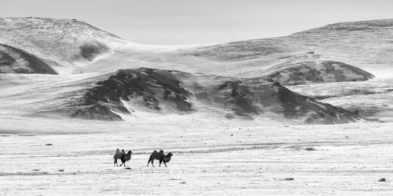 Bactrian camels in the Altai Mountains