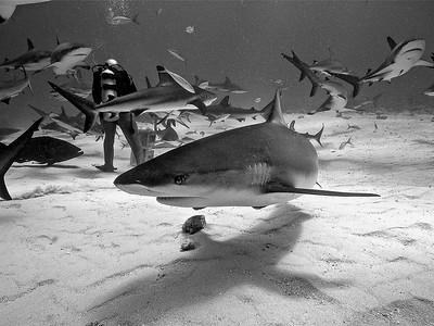 Stuart Cove´s shark feeding dive