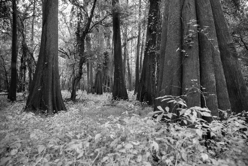Cypress Trees_Cat Island_Louisiana_photo by Gabe DeWitt_November 05, 2014-54