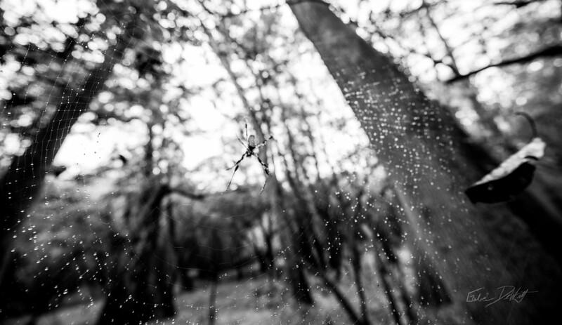 Golden Silk Spider_Cat Island_Louisiana_photo by Gabe DeWitt_November 05, 2014-68