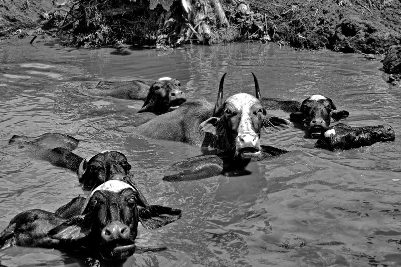 Buffaloes in water.<br /> Villages in rural India in the state of Maharashtra.