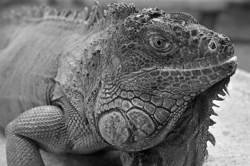 Close up portrait of the Iguana.<br /> Bali Zoo, Singapadu (near Ubud), Bali. Situated in the cultural heart of Bali, the zoo is only 15 minutes drive from Ubud, and 45 minutes from the tourist areas of Kuta.