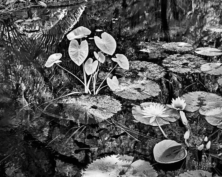 Lotus at Mckee