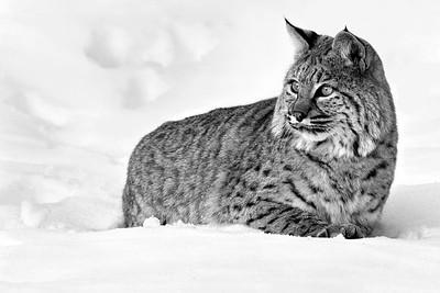 Lynx Galore