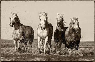 The Horses of the Camargue