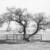 Old tree on way to Luseland