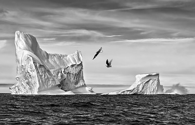 Icebergs and Gulls