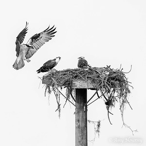 Juvenile ospreys at their nest