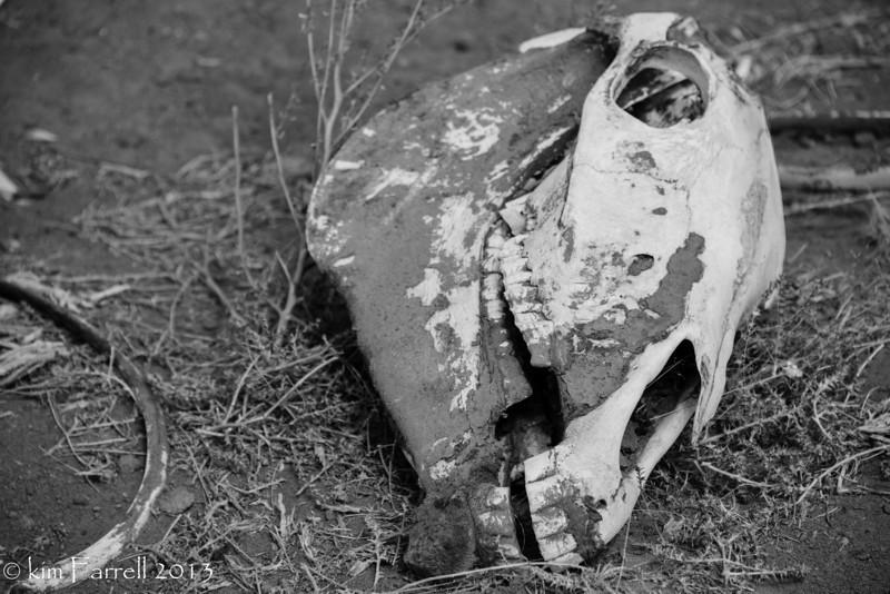 Horse skull and a rib.