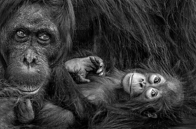 Mother and Ape, Borneo