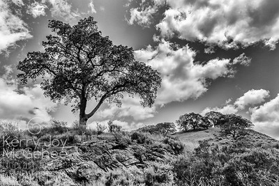 Tree at Sunol