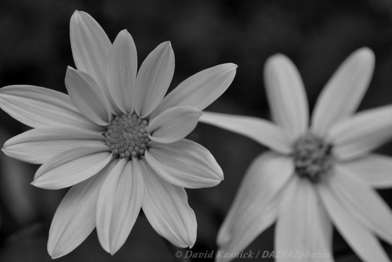 Black & White Flower - Backyard Garden