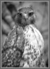 Red Tailed Hawk B&W - Morton Arboretum