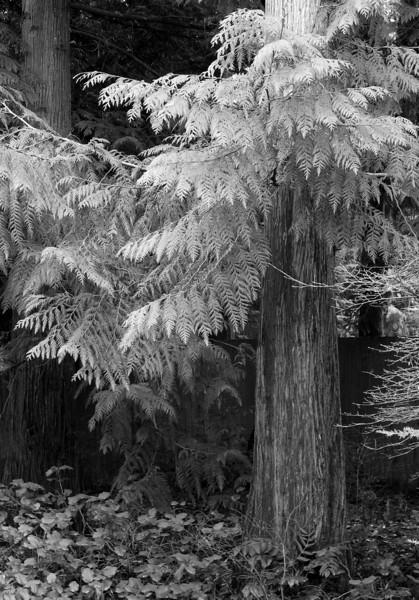 12-17 B&W Pine