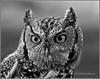 Screech Owl - SOAR