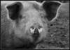 Piggy B&W HDR