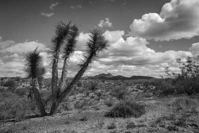Monocromatic Joshua Tree