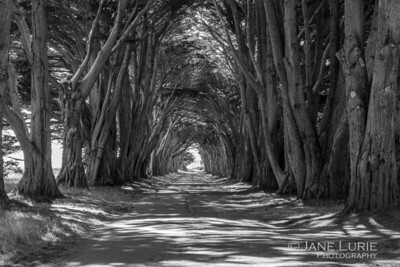 Cypress Tree Tunnel, Point Reyes.