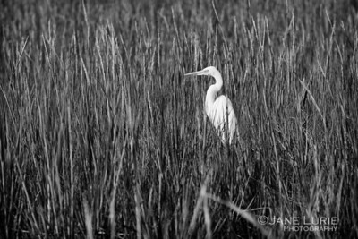 Egret in the Morning Sun, Kiawah Island, SC