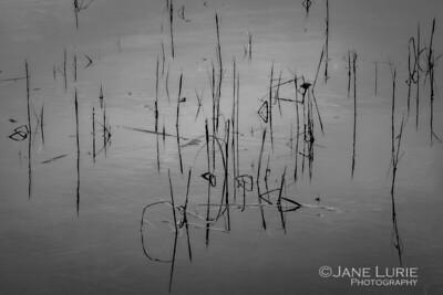 Reed, Tomales Bay