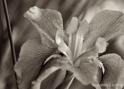 The beauty of the iris petals is illuminated by sepia tones.